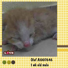 **MUST LEAVE TONIGHT, BEFORE 6PM** July 22'14! 1 wk.old Olaf AC&C NYC - Too young to survive on his own so needs to be bottle fed and nurtured.He's such a little angel and his cute meows bring tears to your eyes! Please let us know if you can welcome this baby boy into your family! Olaf A1007646 – 1 wk. Orange Tabby/ White DSH – .3 lbs. – Stray – Male 1 week https://www.facebook.com/nycurgentcats#!/nycurgentcats/photos/a.376300362387957.91562.220724831278845/831006000250722/?type=1&theater