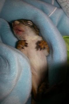 Post with 1275 views. Saved a baby chipmunk , new pet I guess. Pet Chipmunk, Baby Squirrel, Cute Wallpaper Backgrounds, Cute Wallpapers, I Need A Nap, Pop Art Portraits, Red Panda, Chipmunks, Woodland Animals