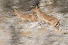 In deze foto zie je heel goed dat de herten aan het rennen zijn. Dit komt door de vervaging van delen van het lichaam van het hert en door de wazigheid in de foto.