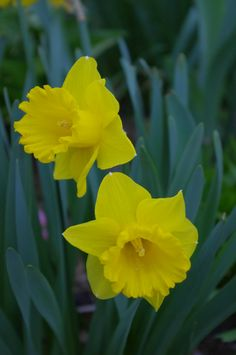 yellow daffodils ~ simply delightful