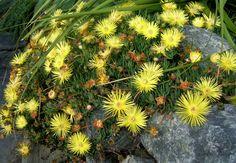 Cephalophyllum pillansii flower