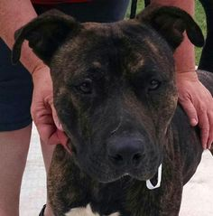 Meet 21 Archy, a Petfinder adoptable Pit Bull Terrier Dog | Canton, OH | Release date 8/10.   $86.00 fee includes OH license, DA2PP, Bordetella vaccine, Hw testing, Worming...
