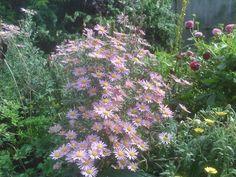 Chrysanthemum 'Clara Curtis' looks especially nice next to Artemesia Powis Castle.