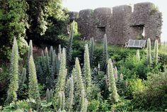 Echiums Cornish castle walls by Photography by Isabel Bannerman and Dunstan Baker.