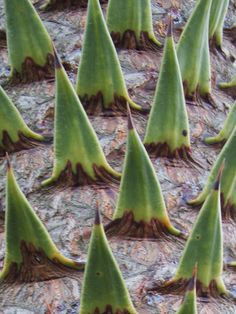 macro of a monkey puzzle tree by tuchodi Member since 2004 Taken on September 1, 2010
