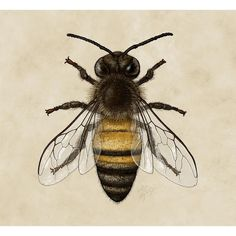 Dorsal view of the Western Honey Bee.