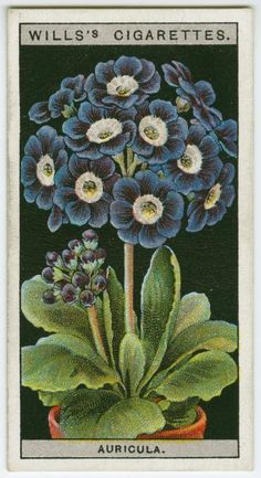 Auricula. Wills's cigarette card