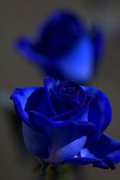 My blue Rose Blue Roses Wallpaper, Royal Wallpaper, Cute Wallpaper Backgrounds, Flower Wallpaper, Exotic Flowers, Pretty Flowers, Blue Flowers, Pink Roses, Beautiful Flowers Wallpapers