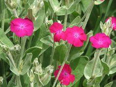 Lychnis coronaria, la coquelourde des jardins : comment semer, cultiver et entretenir cette plante vivace à fleurs rustique.