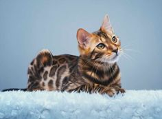 HD Printed Modern Decor Art Wall oil Paintings Bengal Cat Laying On White Carpet Looking Picture on the Canvas Home decoration #Affiliate