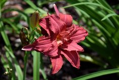 Find Double Pardon Me Daylily (Hemerocallis 'Double Pardon Me') in Perth, Ontario (ON) at Hillside Gardens Hillside Garden, Orland Park, Garden Centre, Low Maintenance Plants, Herbaceous Perennials, Types Of Soil, Day Lilies, Greenhouses, Early Spring