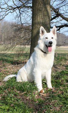 weißer Schäferhund http://fc-foto.de/17029971
