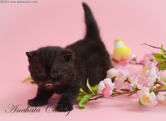 """Meet Nora. Her coloring is called """"black smoke""""! What a beauty she is!!!!!  Anahata - British Shorthair Cats Cattery"""