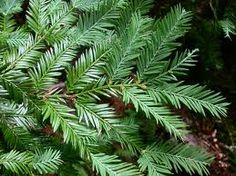 sequoia sempervirens - Coast redwood. Small needles, silvery back. Long fronds, flatter plain.