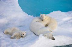 Eisbären und Braunbären: Techtelmechtel auf den ABC-Inseln