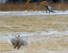 Snowy owl took on peregrine falcon. Read on.