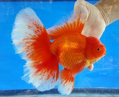 This Oranda too please. Ryukin Goldfish, Comet Goldfish, Tetra Fish, Fish Fish, Colorful Fish, Tropical Fish, Golden Fish, Cool Fish, Freshwater Aquarium Fish