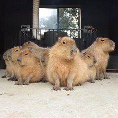 Of course, they'll never neglect their own. | 18 Pictures That Prove Capybaras Are The Chillest Animals On Earth