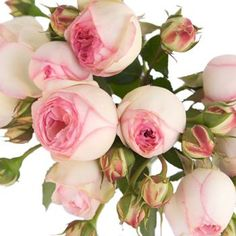 Find Spray Roses at FiftyFlowers! Spray Roses are miniature standard roses that have multiple small blooms per stem. Petite and beautiful, spray roses generally Pink Garden, Dream Garden, Garden Roses, Rose Varieties, Types Of Roses, Growing Roses, Flower Bomb, Spray Roses, Flower Quotes