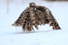 Ural Owl (Strix uralensis). Photo by Tomasz Samolik.
