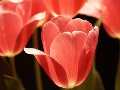 tulip  | Real Pink Tulip