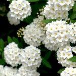 Crisp & Clean…White Spring Flowers