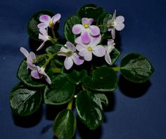 This is a miniature variety known as Morgans Declan Duff. The leaves are light green in color. The leaves are plain in shape. The flowers are white in color with fuschia patches. The flowers are pa...