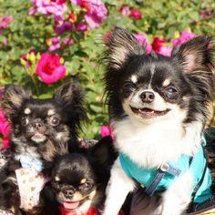 良いお顔 ママも嬉しくなっちゃうわ #chihuahua #utsubopark #rose #smile #チーム黒い女たち#黒い女たちシリーズ…