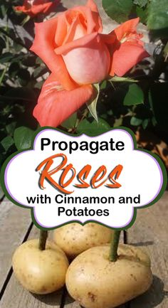 naturebring propagate potatoes cuttings growing roses with rose how to How to Propagate Roses with Potatoes Growing Rose cuttings NatureBringYou can find Planting roses and more on our website Growing Flowers, Growing Plants, Planting Flowers, Flower Gardening, Perennial Vegetables, Growing Vegetables, Container Gardening Vegetables, Roses In Potatoes, Rooting Roses