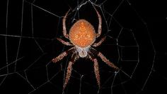 The hackled orb weaver has no fangs. If you're its prey, that might sound like good news. It's not. It means that it will kill you in an even more excruciating way than spiders normally do.