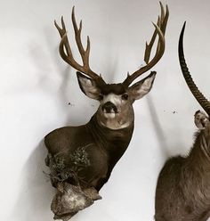 51 Best Antelope Mounts Images In 2019 Taxidermy Bass