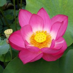 Pinkalicious is a cold hardy lotus. A good grower that will spread quickly, hardy zones 3 - Bloom Season: spring to fall. Water Plants, Water Garden, Types Of Flowers, Pink Flowers, Lotus Flower Pictures, Nelumbo Nucifera, Aquatic Plants, Flower Aesthetic, Flower Art