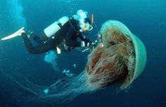 Weighing in at a staggering 440 pounds, the Nomura Jellyfish is the largest jellyfish in the world. These creepy critters can be found off the coast in Japan.