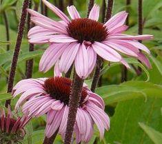echinacea purpurea August konigin