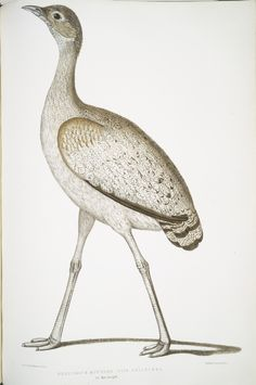 Illustrations of Indian zoology; chiefly ... fr...