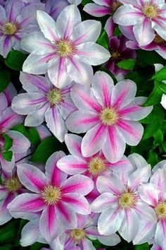 ✯ Clematis~~~I had a beautiful Nelly Moser but one day it just died. My others are all fine.