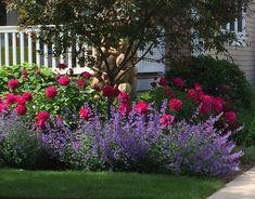 Talking to Plants: Rose Companion Plants | Shrub companions ...
