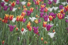 Colourful Tulips at the Ottawa Tulip Festival - Travel McCoy Tours