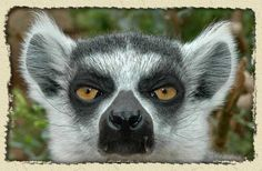 señor Lemur