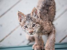 Photographer Wakes Up to Lynx Mama and Adorable Cubs Playing on His Deck