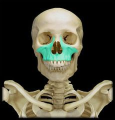 Slides quizing you on all the bones and bone features of the axial skeleton you are required to know using pictures from Anatomy & Physiology Revealed Axial Skeleton, Facial Nerve, Anatomy And Physiology, Bones, Lion Sculpture, Skull, Statue, Skeletons, Art