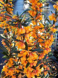 Berberis-Orange-King.jpg (2128×2832)