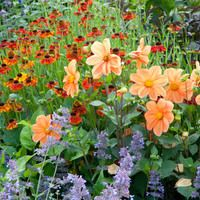 A Spectacular Summer Planting Idea with Dahlia, Zinnia, Rudbeckia and Amni Visnaga