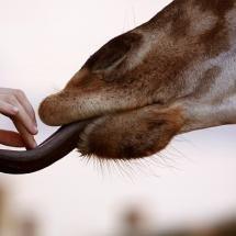 giraffe tonge