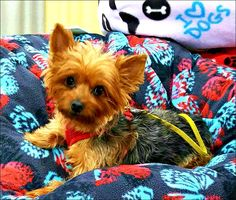 Toby is an adoptable Yorkshire Terrier Yorkie searching for a forever family near Chambersburg, PA. Use Petfinder to find adoptable pets in your area.