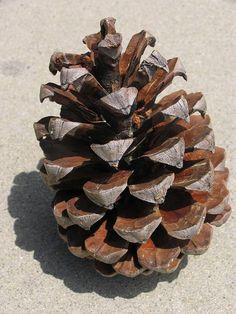 I love pine cones