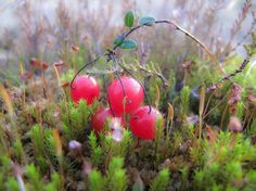 karpalo - Vaccinium oxycoccos - Cranberry, a swamp plant Fall Photos, Nature Photos, Bog Garden, Strawberry Plants, Seasonal Food, Take The First Step, Medicinal Plants, Something Beautiful, Vintage Postcards