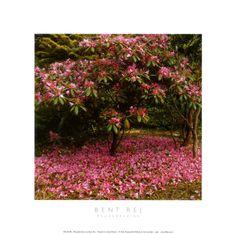 Bent Rej Rhododendron