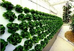 growing hydroponic lettuce - Google Search