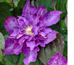 Clematis Vyvyan Pennell.  Exposure: Full or Part Sun  Blooms In: May-Sept  Spacing: 3'  Ships as: One Quart Pot